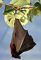 Kalong (Pteropus vampyrus) sleeping 2.jpg