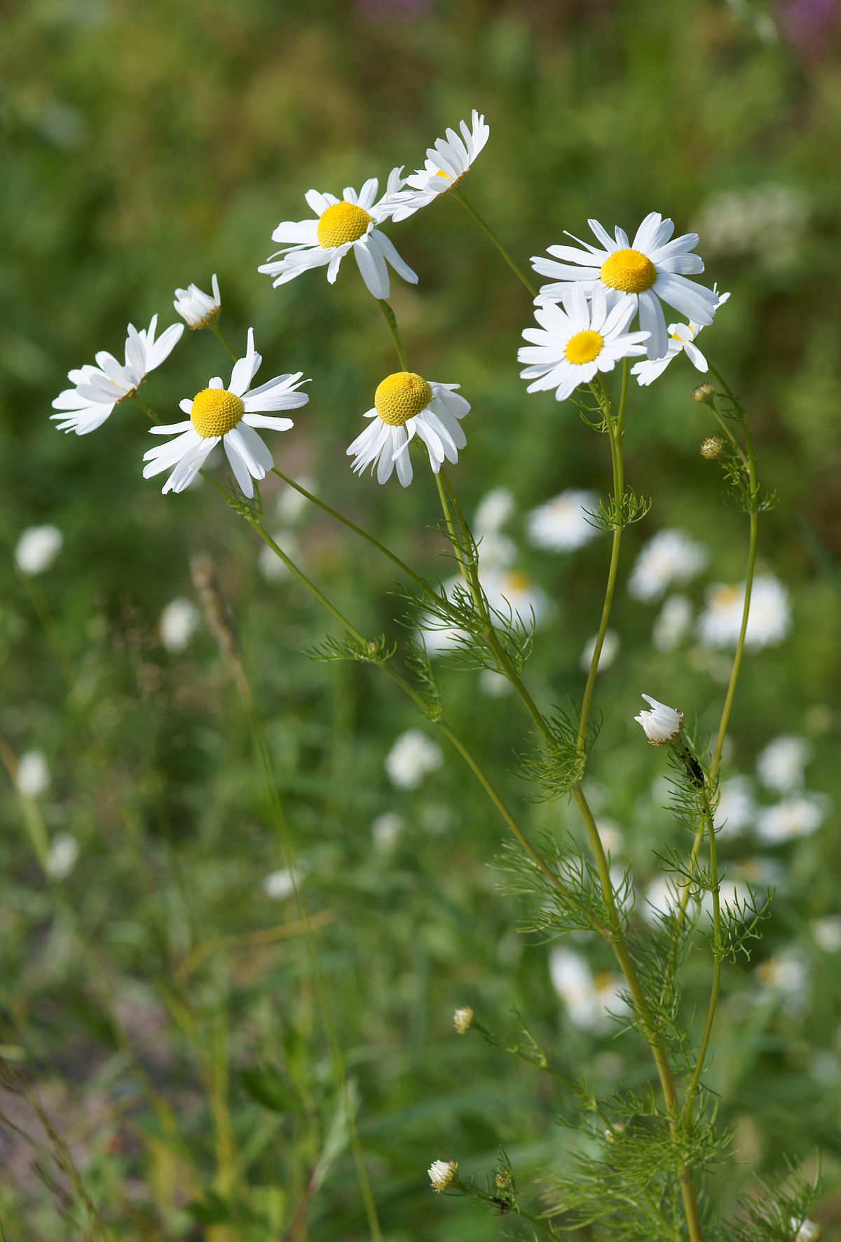 Chamomile wikipedia Where did daisies originate