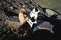Karelian Bear Dogs (4427414101).jpg