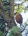 Kashmir Nuthatch (Sitta cashmirensis) (48700744083).jpg