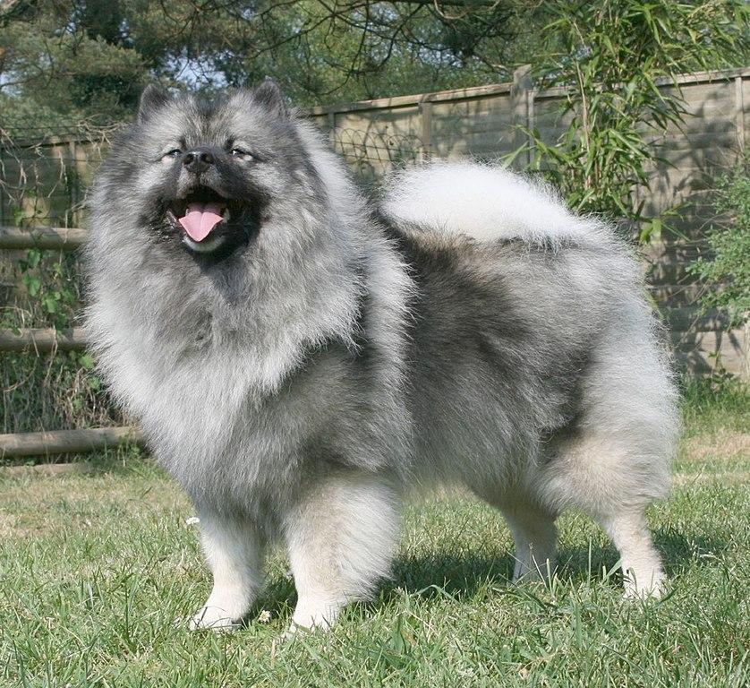 Es importante adiestrar y educar el Keeshond desde cachorro ya que tiende a ser al principio algo destructivo