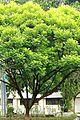Kerai Payung Filicium decipiens.JPG