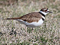 Killdeer Cape May RWD.jpg