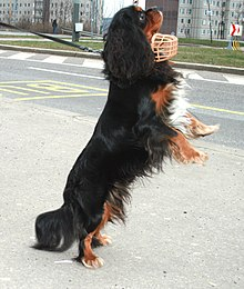 Consider, that Adult cavalier king charles spaniels for sale message simply