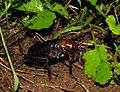 King cricket (Anostostomatidae) (4086835421).jpg