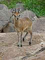 Klipspringer (Oreotragus oreotragus) (16636486225).jpg