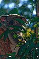 Koala (Phascolarctos cinereus) (10015015124).jpg