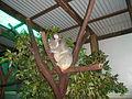Koala w ogrodzie zoologicznym okolic Cairns, Autralia.jpg
