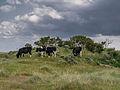 Koeien in de Kobbeduinen op Schiermonnikoog 1.jpg