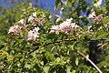 Kolkwitzia amabilis (Paradisbuske) 002.jpg
