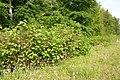 Korina 2011-05-14 Fallopia japonica.jpg