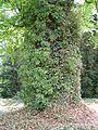 Kornik Arboretum buk bluszcz 2.jpg