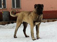 سگ کانگال