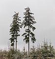 Krenkeltal Rothaarsteig in Sauerland. eenzame naaldbomen tussen jonge aanplant 01.jpg