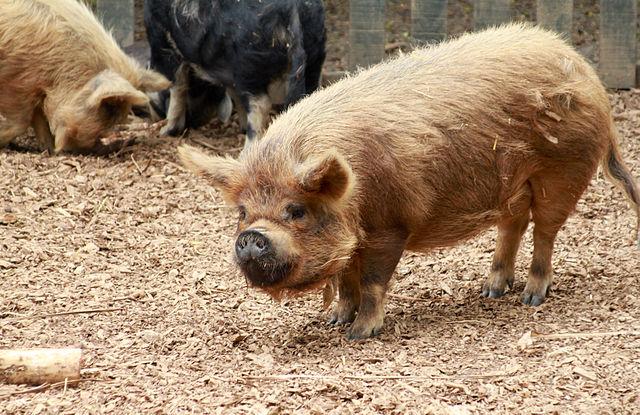 640px-Kunekune_Pig_at_Hamilton_Zoo.jpg