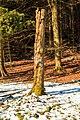 Kvetoucí sněženky v PP Sněženky ve Vysokém lese 21.jpg