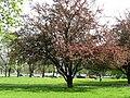 Kwitnąca Rajska jabłoń - Malus - panoramio.jpg