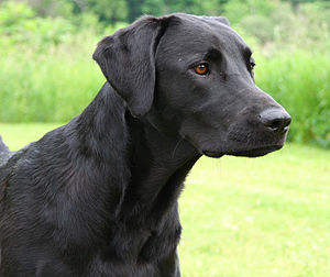 A black Labrador Retriever.