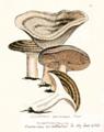 Lactarius circellatus.png