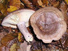 дуплянки грибы