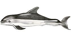 Lagenorhynchus acutus.jpg