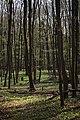 Lainzer Tiergarten März 2014 Buchenwald Bärlauch (Allium ursinum) 2.jpg