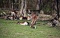Lainzer Tiergarten März 2014 Damhirsche (Dama dama) 1.jpg