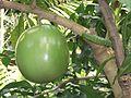 Lamiales - Crescentia cujete 8.jpg
