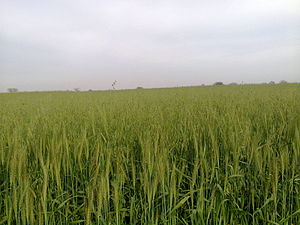 Pind Dadan Khan - A view of a field in Pind Dadan Khan, Pakistan