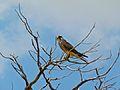 Lanner Falcon (Falco biarmicus) (7011311095).jpg