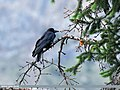 Large-billed Crow (Corvus macrorhynchos) (48088984702).jpg