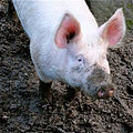 Large white pig in wallow.jpg