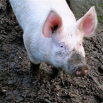 Large White pig - Boar