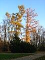 Larix decidua tree Wilanów.JPG