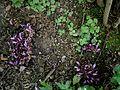 Lathraea clandestina habitat.jpg