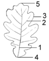 Leaf Morphology.png