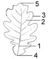 Leaf Morphology.png