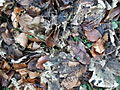 Leaf litter - geograph.org.uk - 1623217.jpg