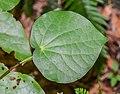 Leaf of Macropiper excelsum.jpg