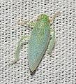 Leafhopper (42938141820).jpg