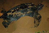 Leatherback Turtle Nesting at San Miguel Beach.JPG