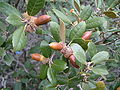 Leaves acorns golden oak.JPG