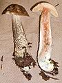 Leccinum snellii 15213.jpg