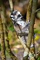 Lemur (36445869352).jpg