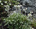 Leontopodium shinanense 02s Kisokoma.JPG