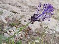 Leopoldia comosa 20150403 b.jpg