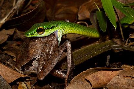Snake eats frog in Panama.
