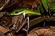 Leptophis ahaetulla Snake Eating a Frog (Craugastor gollmeri).jpg