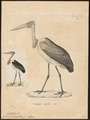 Leptoptilos crumeniferus - 1700-1880 - Print - Iconographia Zoologica - Special Collections University of Amsterdam - UBA01 IZ17600061.tif