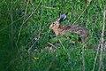 Lepus europaeus 04(js) Lodz (Poland).jpg